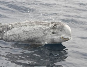 Grampus Griseus (Dauphins de risso) Golfe du Lion, Méditerranée