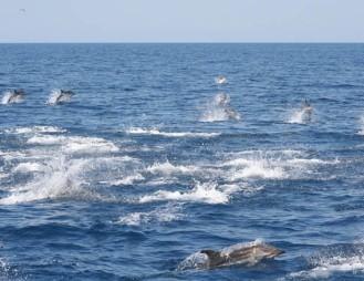 Stenella Coeruleoalba (Bleus et Blancs) Golfe du Lion, Méditerranée
