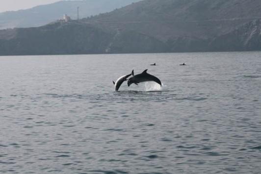 Tursiops Truncatus (Grand dauphin) du Golfe du Lion, Méditerranée